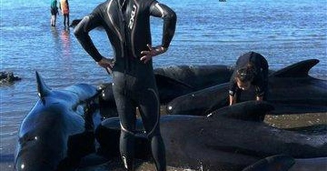 New Zealand whale stranding kills 36, threatens 40