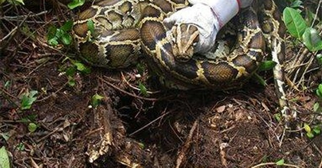 Pythons apparently wiping out Everglades mammals