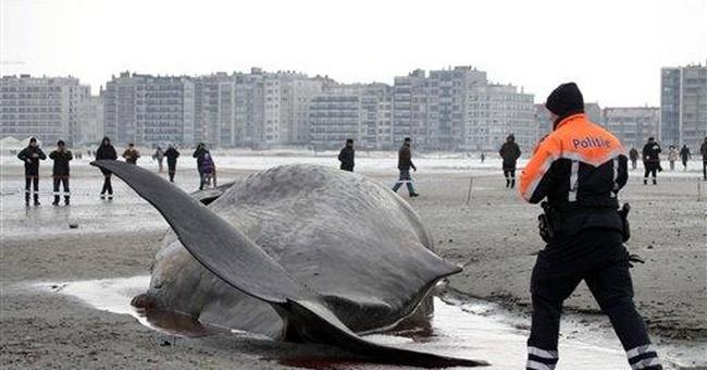 Sperm whale dies on Belgian beach