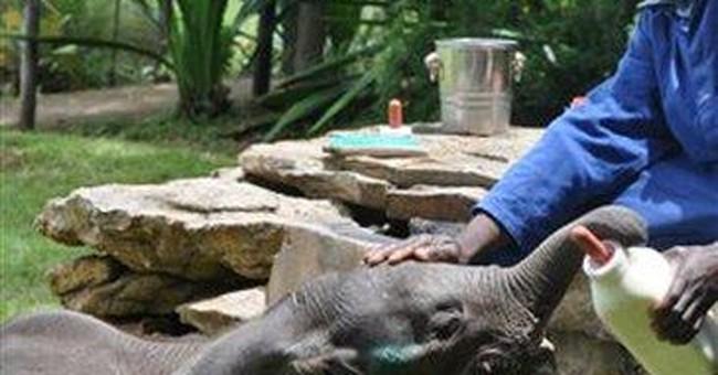 6-week-old lone elephant calf dies in Zimbabwe