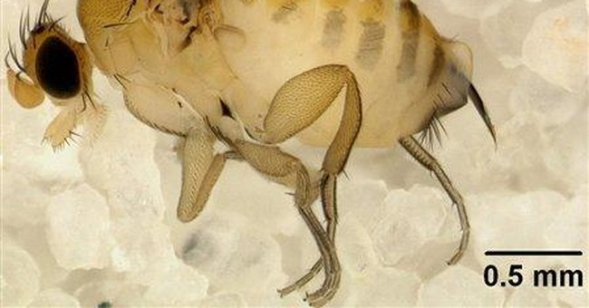 Study: Parasitic fly could explain bee die-off