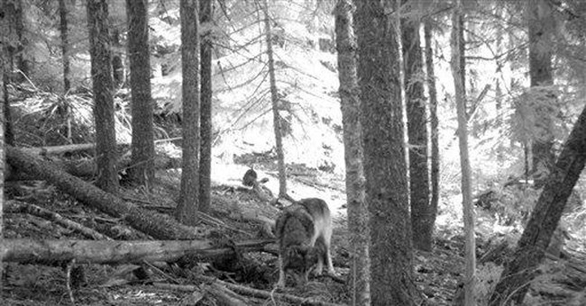 Wolf that crossed into Calif. likely photographed