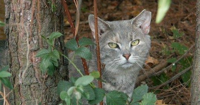 Animal groups target feral cats for sterilization