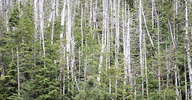 Research confirms warming for yellow cedar death