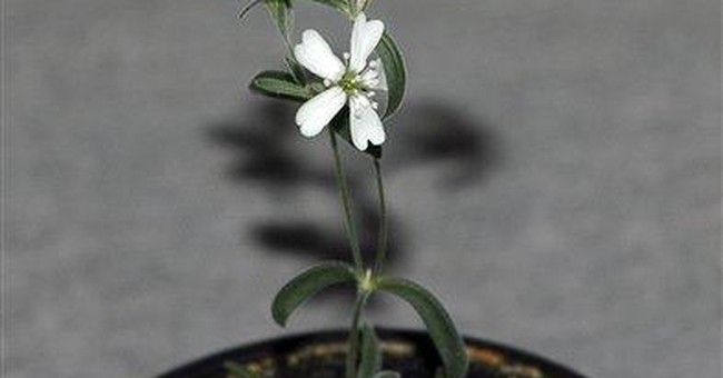 Russians revive Ice Age flower from frozen burrow