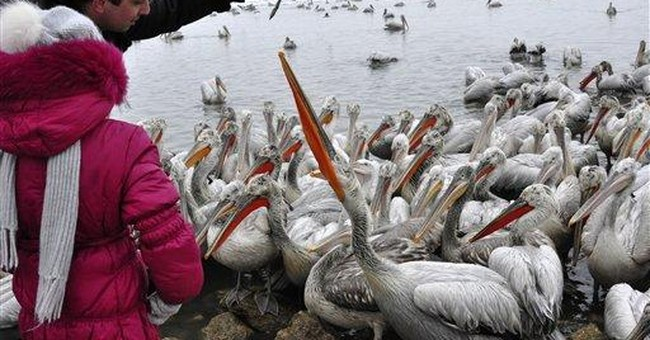 Russian officials feed pelicans in frozen Caspian