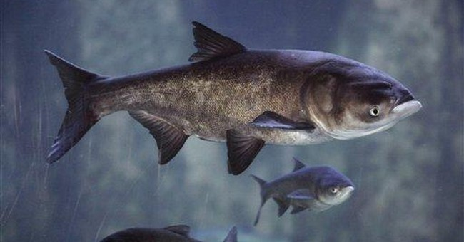 Feds plan to spend $51.5M on 2012 Asian carp fight