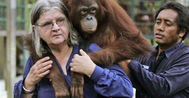 Orangutan captivated at 'Born to Be Wild' showing