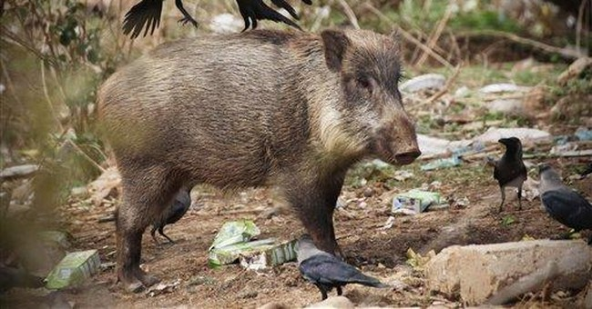Hogs going wild in Pakistani capital