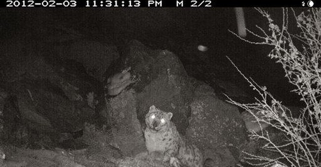 Snow leopards seen in Himalayan conflict region