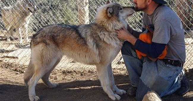 Veterans tame wolf-dogs at Calif. rescue center