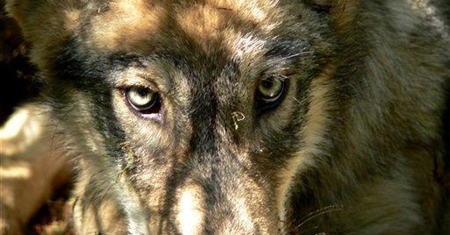 APNewsBreak: US appeals court allows wolf hunts
