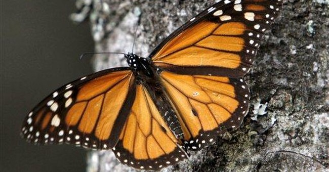Monarch butterflies drop 28 percent in Mexico