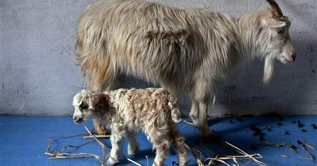 Kashmir scientists clone rare cashmere goat