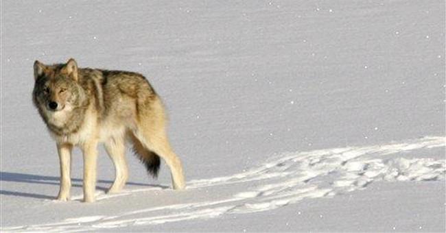 APNewsBreak: Isle Royale wolves may go extinct