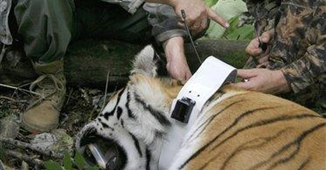 Putin's famous encounter with tigress questioned