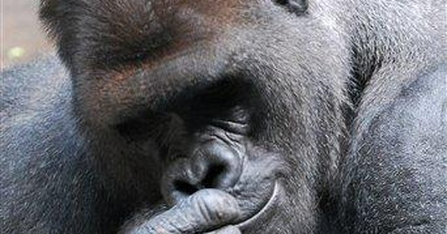 NY zoo gorilla escapes, bites keeper, tranquilized