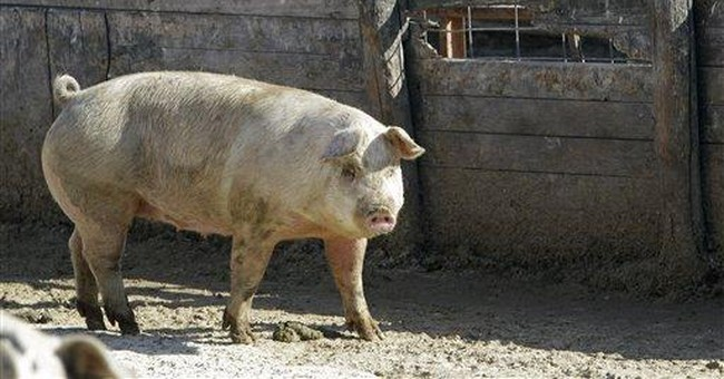 Pork industry moves to group pens at great cost