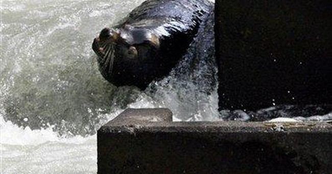 Judge: Sea lion killings to save salmon can resume