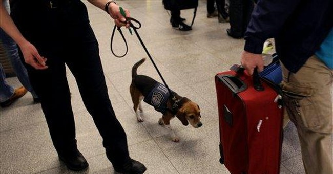 Meet Izzy the beagle, defender of US agriculture