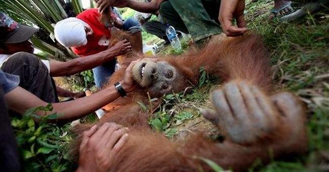 100 orangutans estimated lost in Indonesian fires
