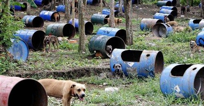 Pit bulls in Philippine dog fights euthanized