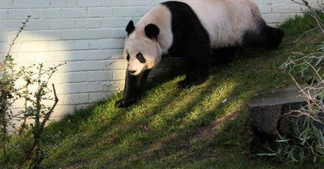 UK zoo's pandas meet for date, but will they mate?