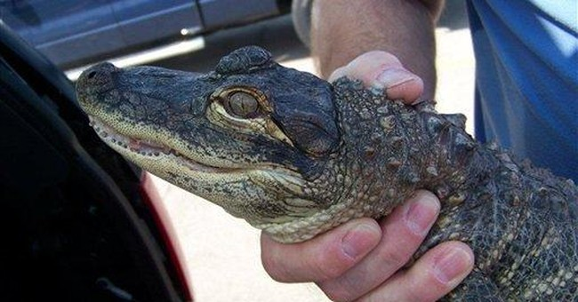 Grown-up gators a challenge for Missouri town