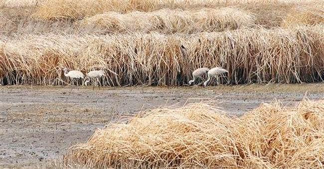 Scarce water spreads disease on waterfowl refuge