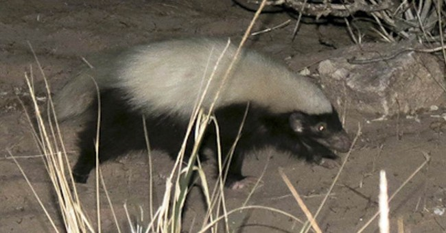 Hog-nosed skunk causes stir at Grand Canyon