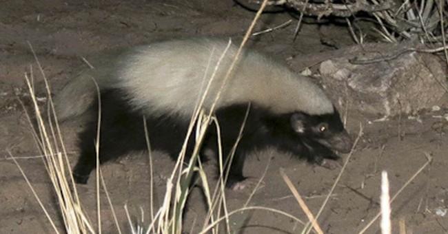 Hog-nosed skunk causes stir at Grand Canyon