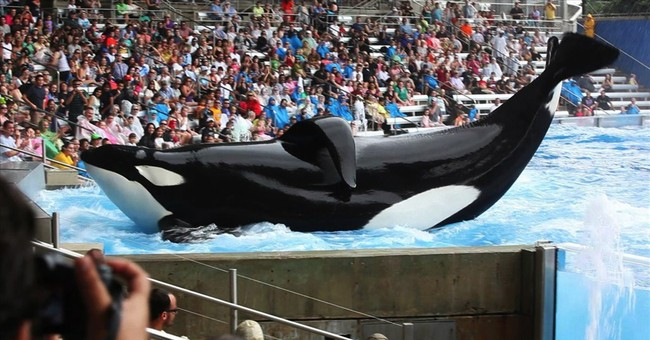 'Blackfish' doc looks at SeaWorld's captive whales