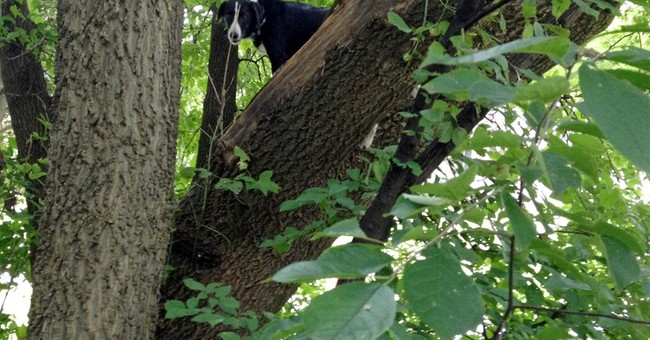 Missing Iowa border collie found stuck in a tree