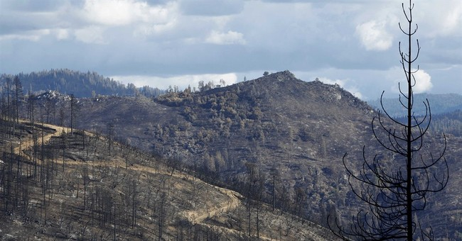 In heart of the Rim Fire, regeneration has begun