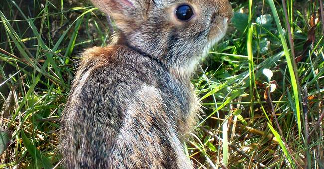 Seeking to save Peter Cottontail from extinction