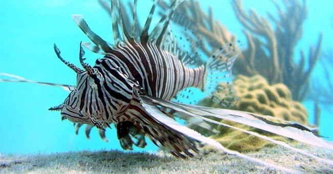 Jamaica reports big drop in lionfish sightings