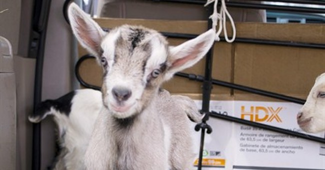 New Americans turn to goats to address food demand