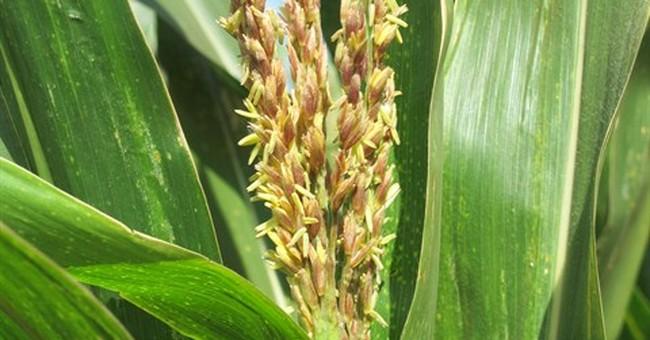 Hawaii is genetically engineered crop flash point