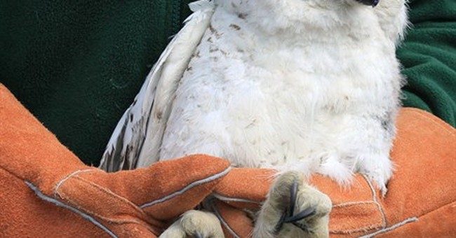 Post-rehab, injured snowy owl released into wild