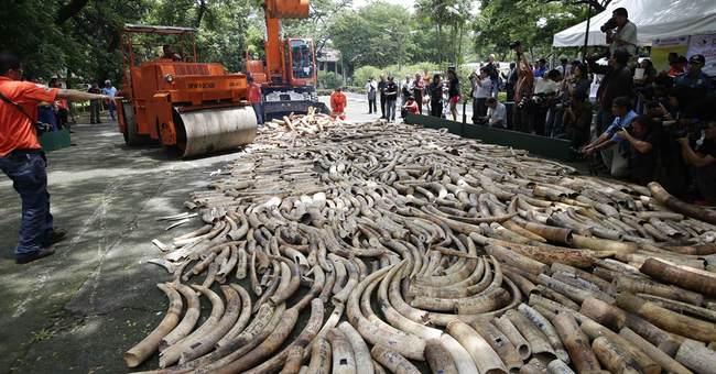 APNewsBreak: Elephants endangered by land grabs