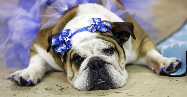 Lucey tops in Iowa's 'Beautiful Bulldog' event