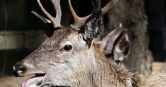 Former Iron Curtain still barrier for deer