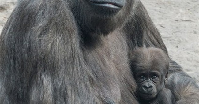 Gaga over gorillas? 2 babies arrive at Bronx Zoo