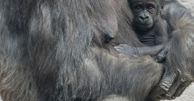 Gaga over gorillas? 2 babies arrive at Bronx Zoo