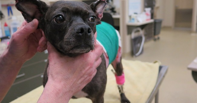 Stolen, abused dog receives unusual skin graft