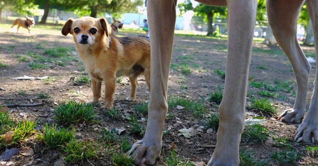 World's smallest dogs can be a big handful