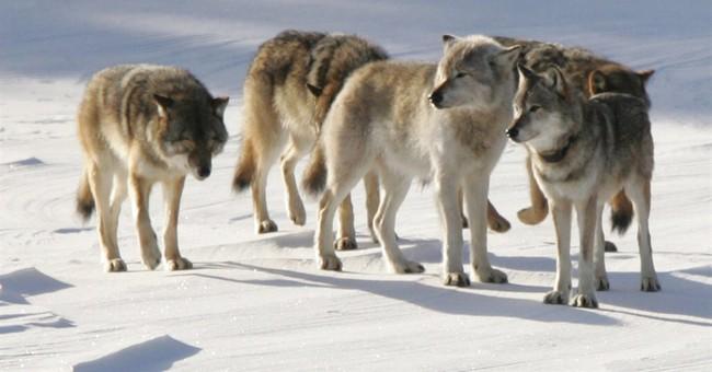APNewsBreak: Isle Royale wolf decline boosts moose