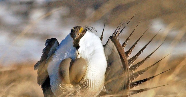 Feds spend $236M to help landowners protect grouse
