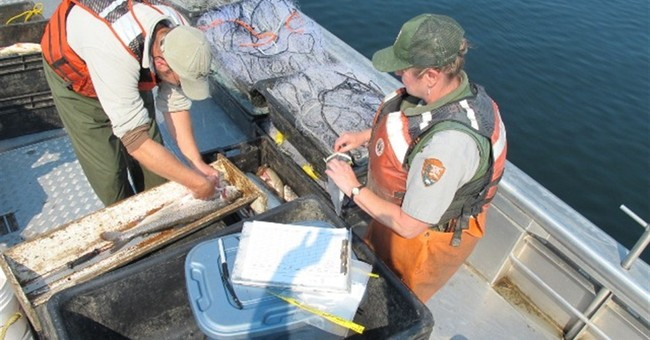 Scientists: Invasive Yellowstone trout in decline