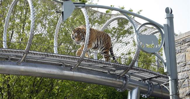 Philadelphia Zoo lets tigers stretch legs on trail